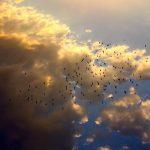 Herd of birds flying on the sky ! #birds #sky #summer #fly #clouds #sun #wallpaper